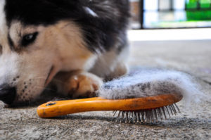 husky laying next to a dog brush with hair on it